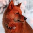 Suomen pystykorva on monipuolinen metsästyskoira. Sitä käytetään pääasiassa metsäkanalintujen metsästykseen, mutta sen avulla metsästetään myös vesilintuja,...